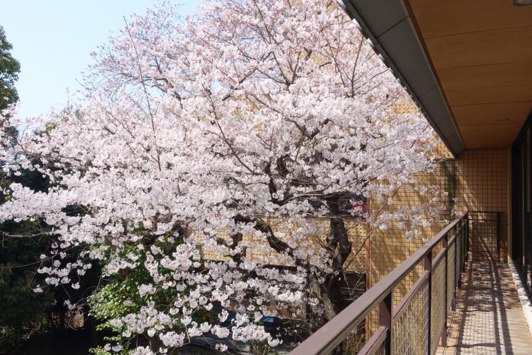 雨あがり、桜満開です!